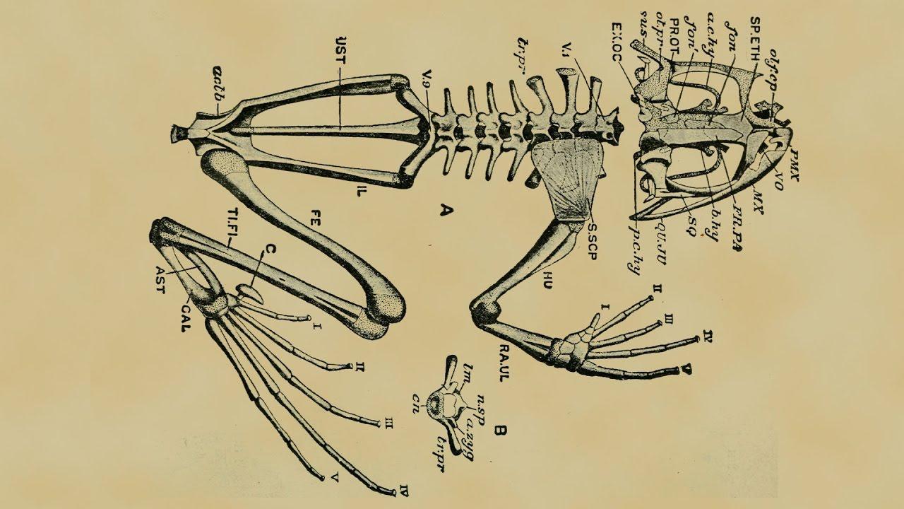 hight resolution of frog skeleton sketch by pfl ger