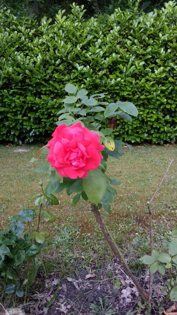 Rose in Lamorlaye