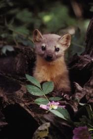 cute marten animal