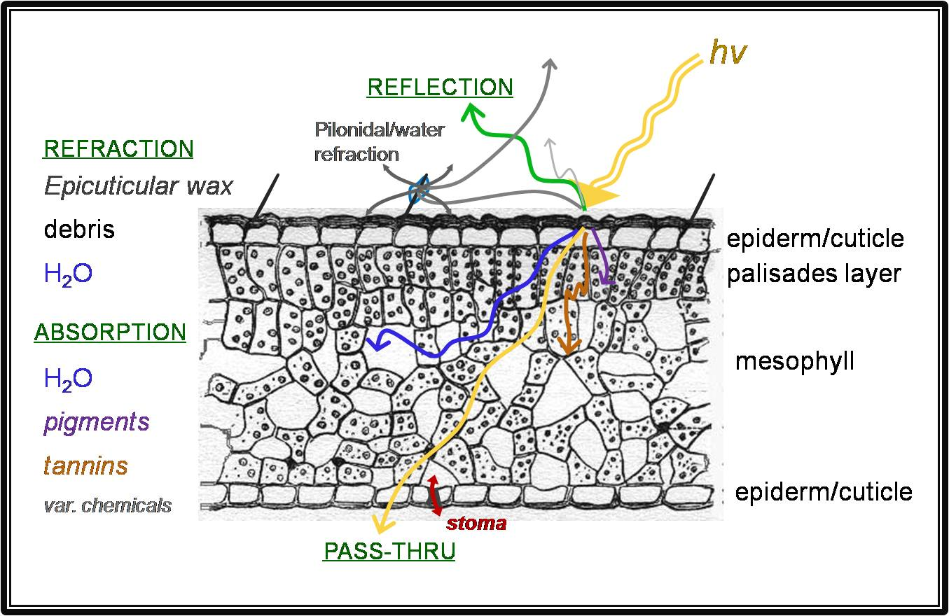 The interaction of incoming sunlight with the various structures and parts of a plant leaf