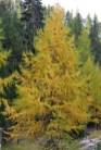 méléze d'automne