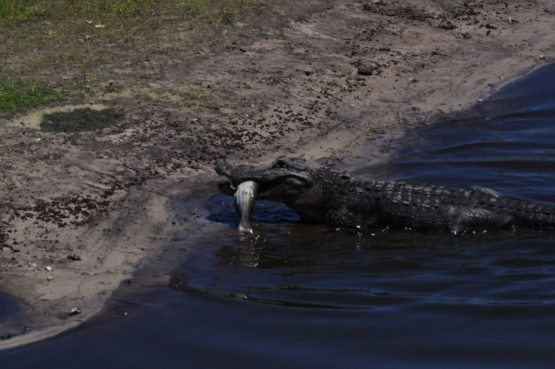 Alligator with a fish in its mouth at Myakka State Park, Manatee County, Florida