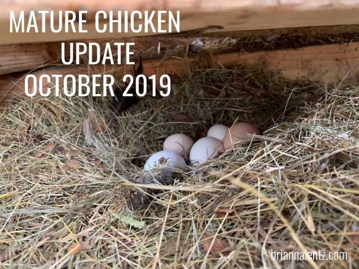 Mature Chickens Update – October 16th 2019