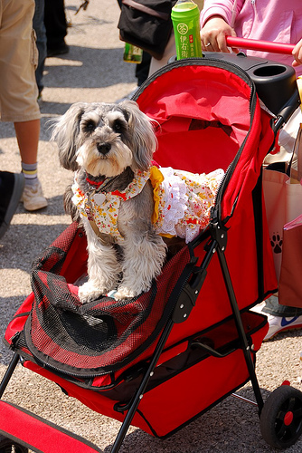 Dog in stroller with pretty dress.there's something