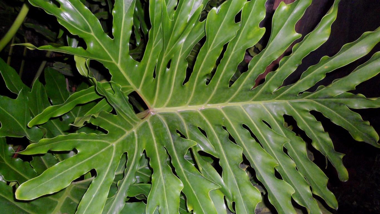 Philodendron bipinnatifidum (Mature Brazil seed grown