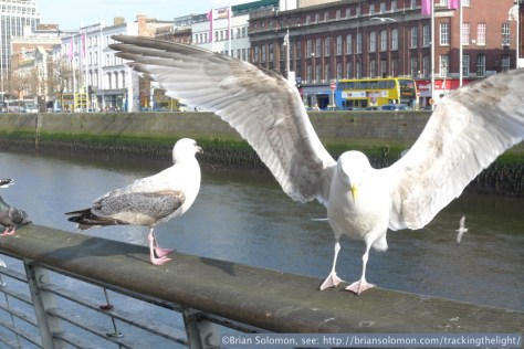 Seagulls along the River Liffey.
