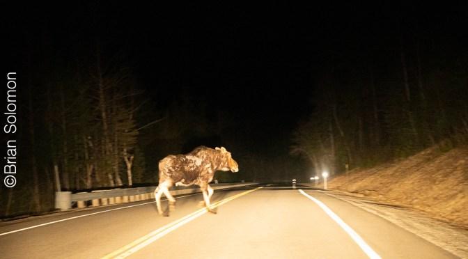 Moose on the Kanc
