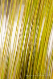 Lake Mc Kenzie, Fraser Island, Queensland.Abstract reed.