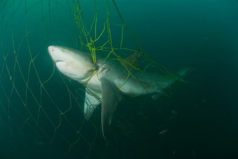 Zambezi Shark in the nets taken in Durban, Kwa-zulu Natal , South Africa in July 2007