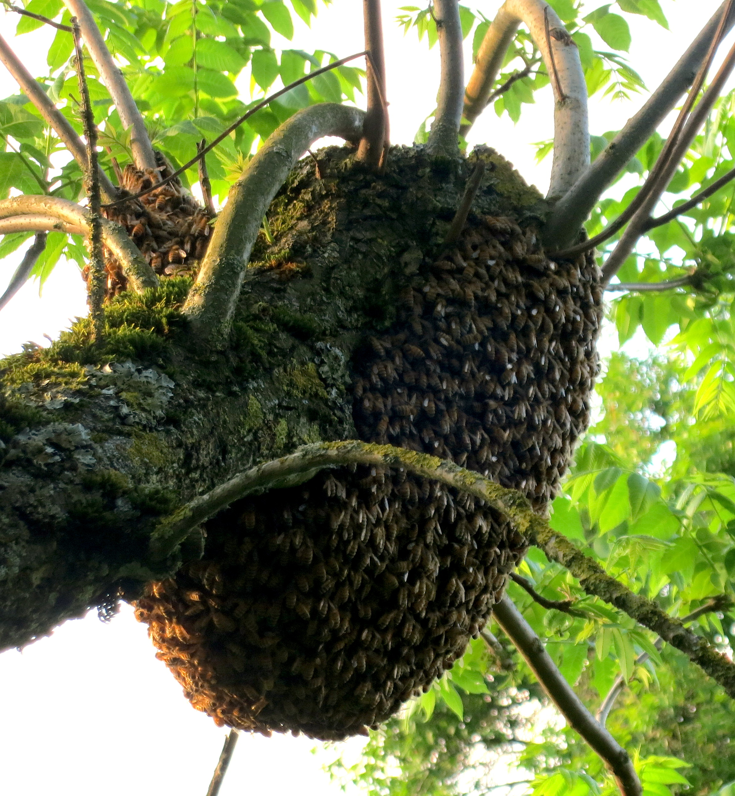 Bee Swarm At Briarcroft Barnstorming