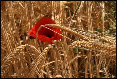 amapola y trigo