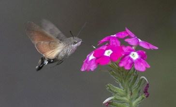 falena-colibri-falco-che-si-posa-su-un-fiore