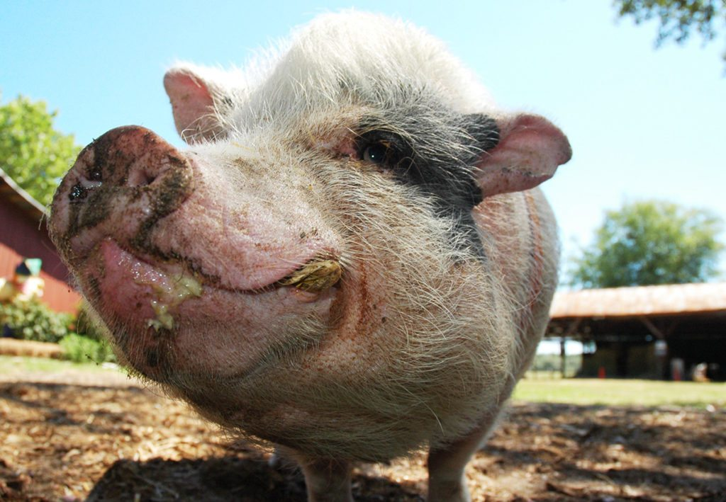 Ugly Pig