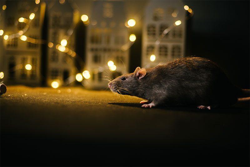 Comment chasser les rats de votre maison ?