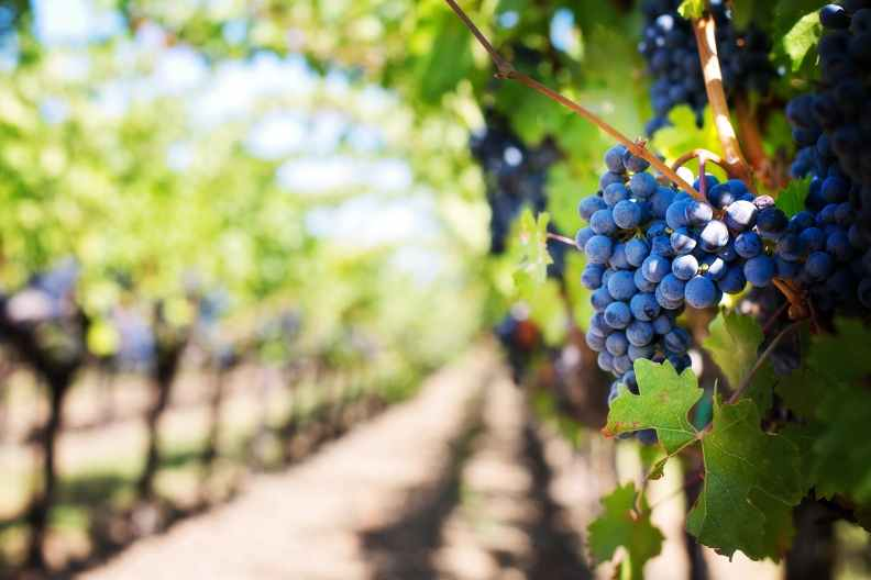 Bridge City Insurance offers vineyards the coverage that is necessary for their industry