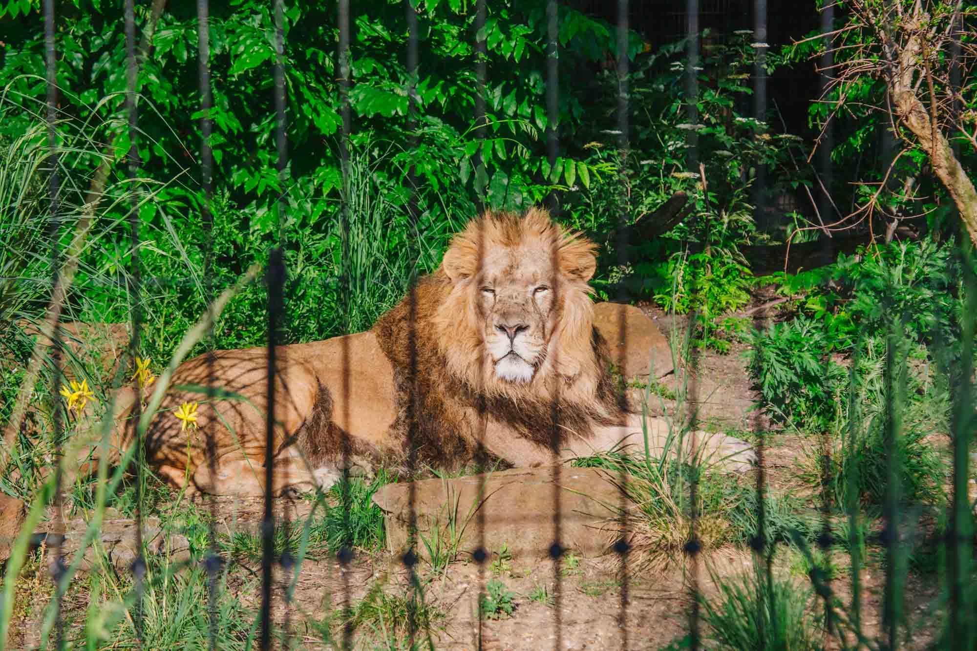 London Zoo - Lions