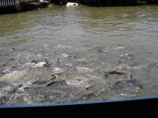 Feeding the fishes on the river from along tail boat