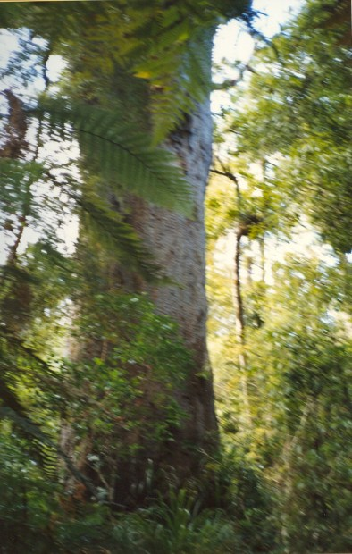 Largest Kauri tree in the world