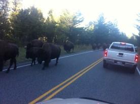 Bumped into a few buffalo on the road