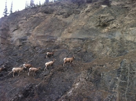 Some beasties on the side of cliff near the road to Miette