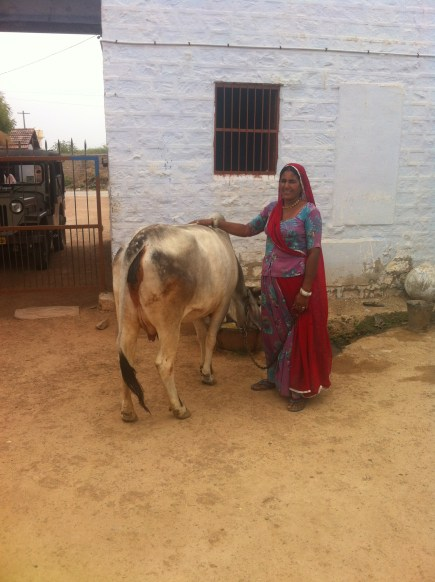 Guides mum and her pregant cow