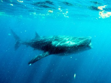Swimming with Whale Sharks