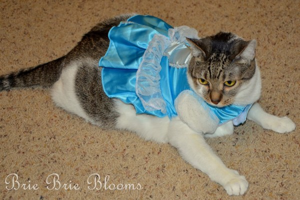 How to Get Your Sassy Cat into a Halloween Costume Brie