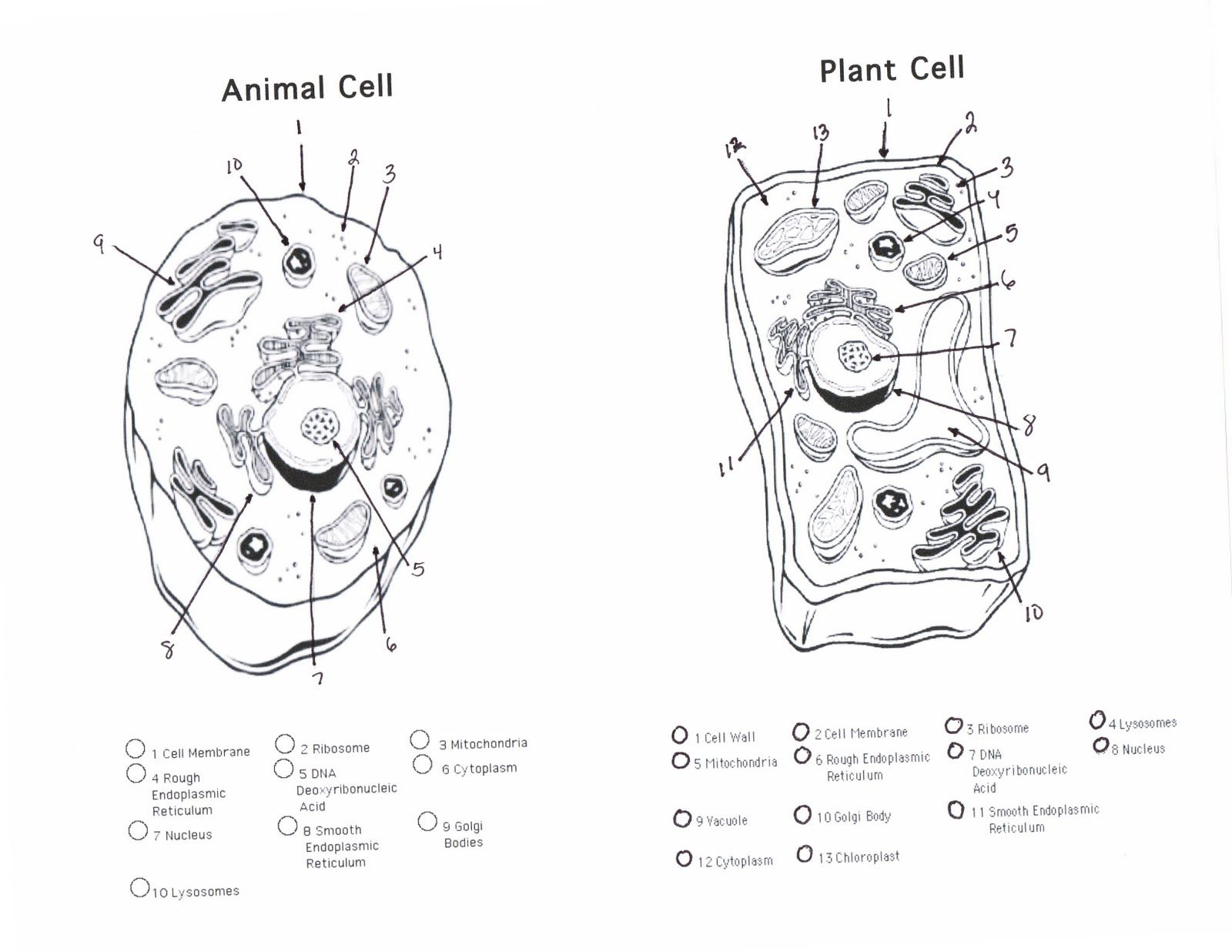 Cell Cycle Coloring Worksheet Answer Key