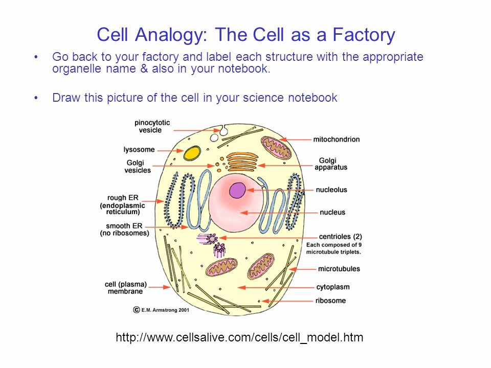 Cells Alive Bacterial Cell Worksheet Answer Key Promotiontablecovers