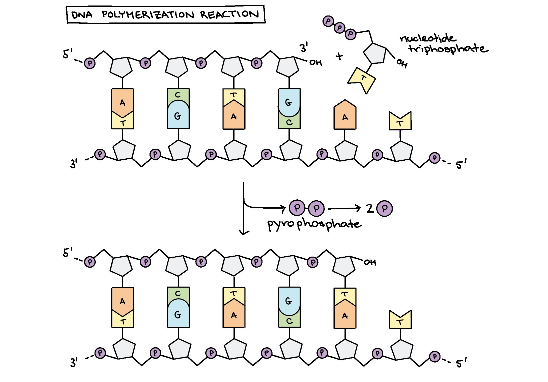 Dna Protein Synthesis Review Worksheet