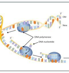 dna translation diagram labeled best nucleic acids [ 1931 x 1042 Pixel ]