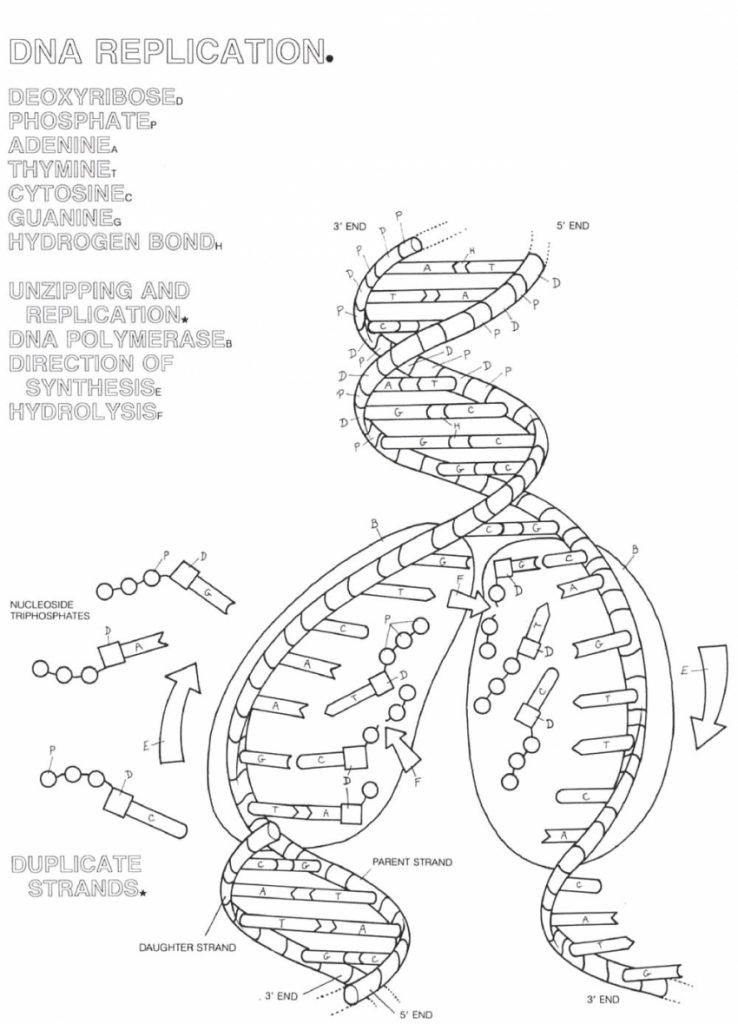 Practice Dna Structure And Replication Worksheet Answer Key