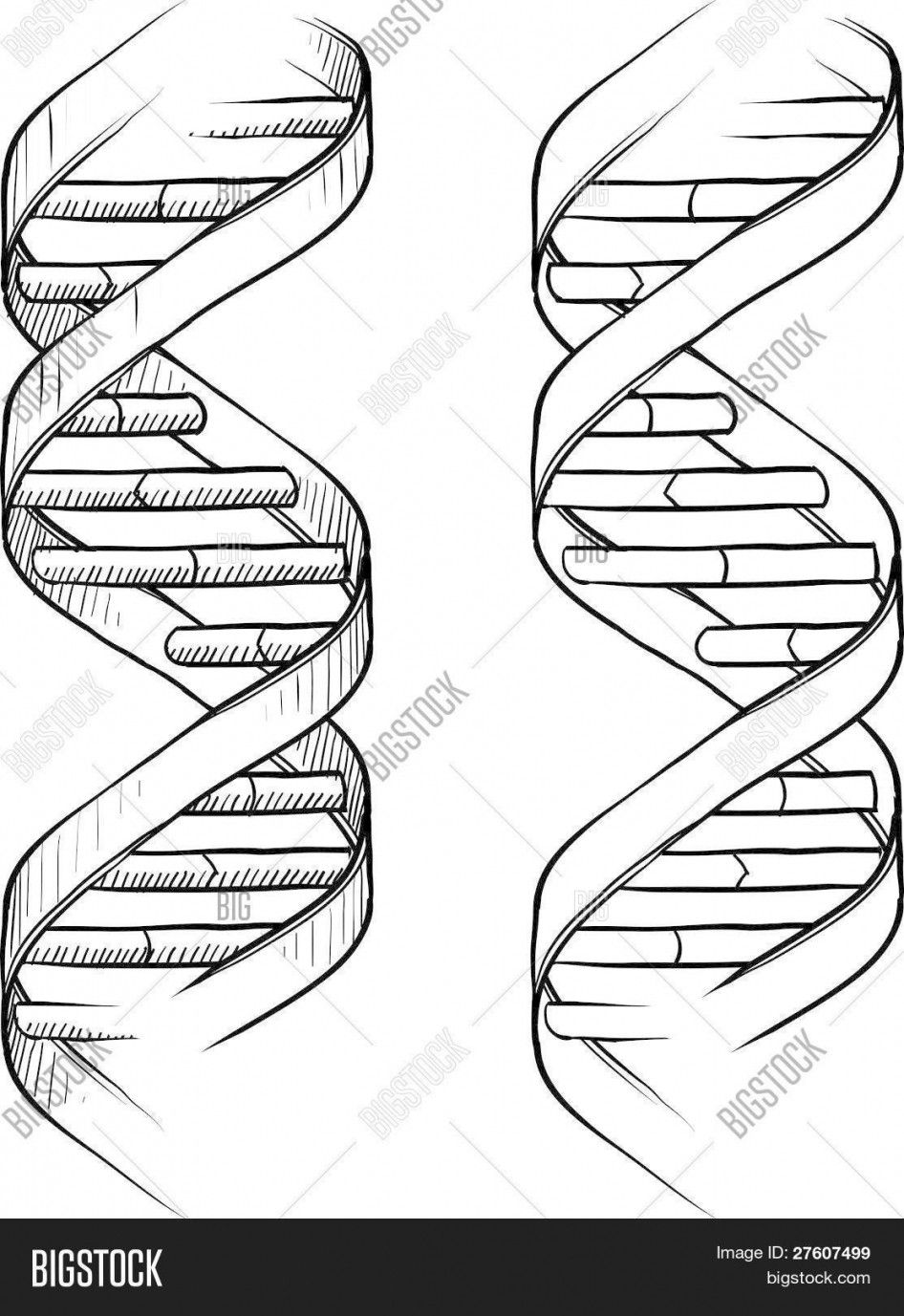 DNA the Double Helix Coloring Worksheet Answers