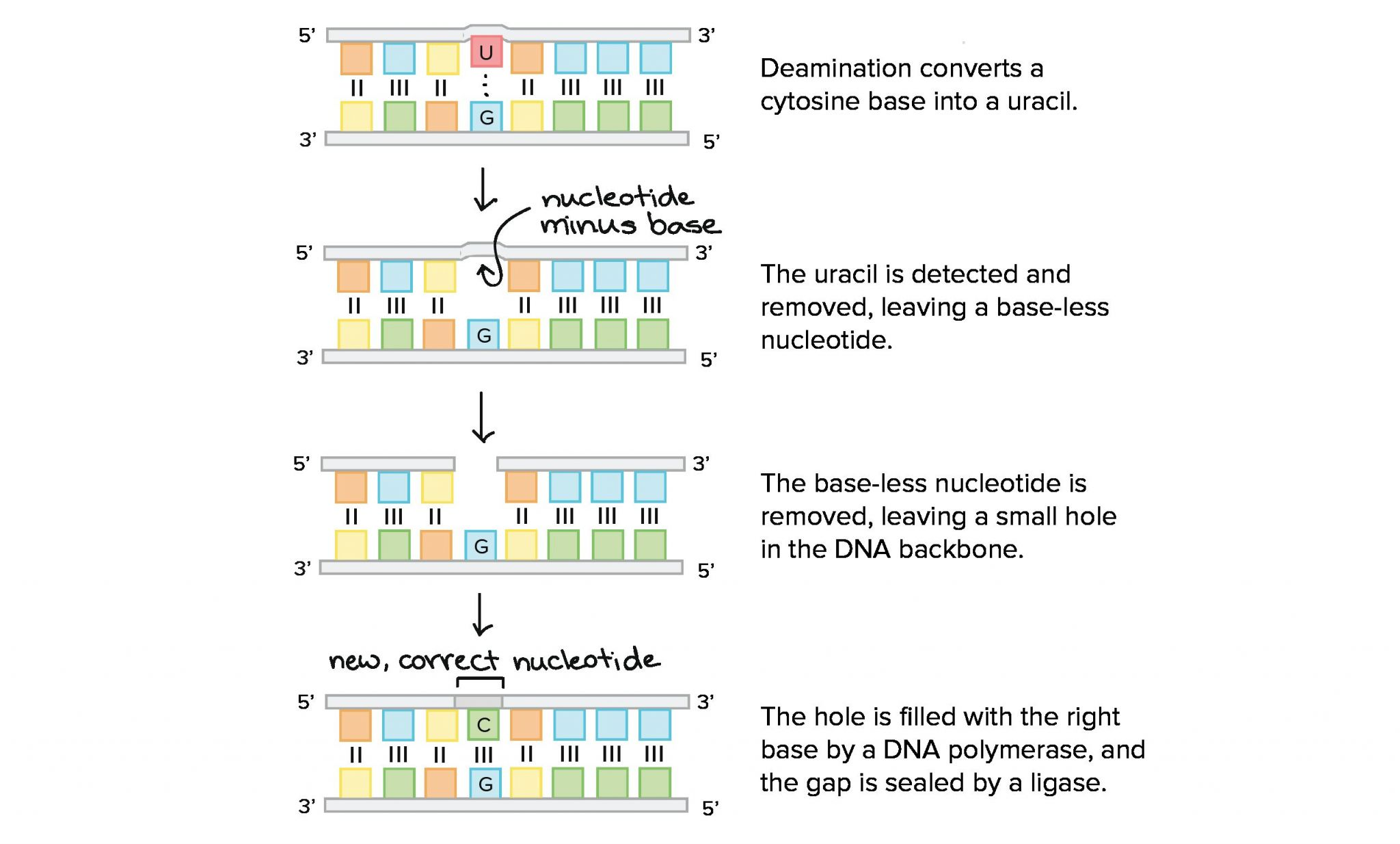 Dna The Double Helix Worksheet Answers