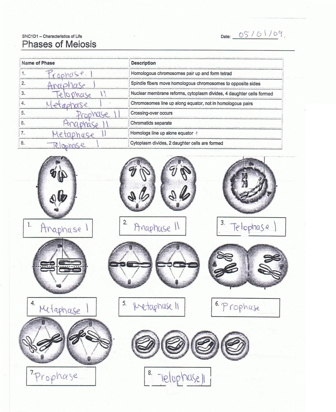 Mitosis And Meiosis Worksheet Answer Key