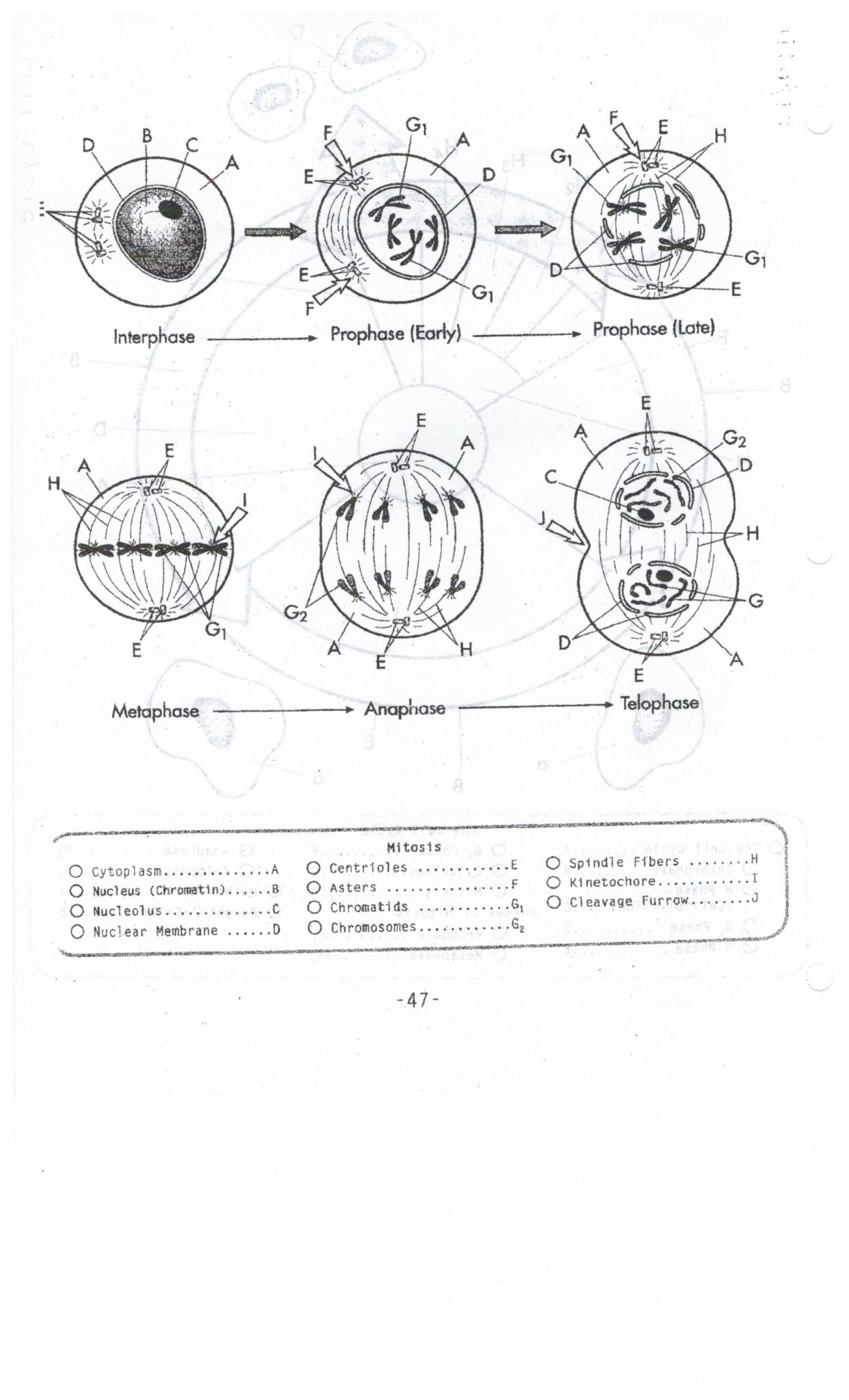 Cell Cycle Student Worksheet Answer Key - Cell Cycle And ...