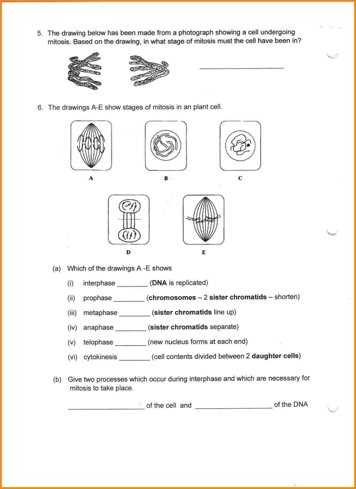 Cell Division Onion Root Worksheet Printable Worksheets And Activities For Teachers Parents Tutors And Homeschool Families
