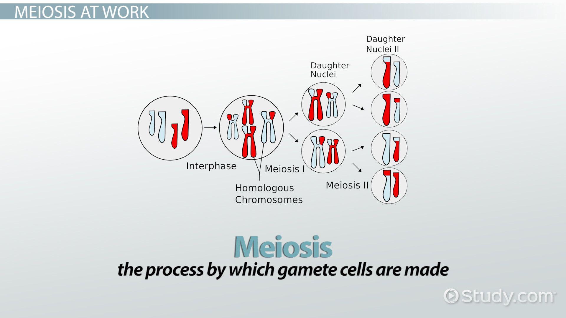 Phases Of Meiosis Worksheet