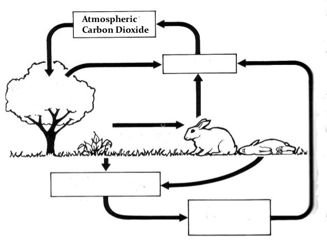 Water Carbon and Nitrogen Cycle Worksheet Answer Key