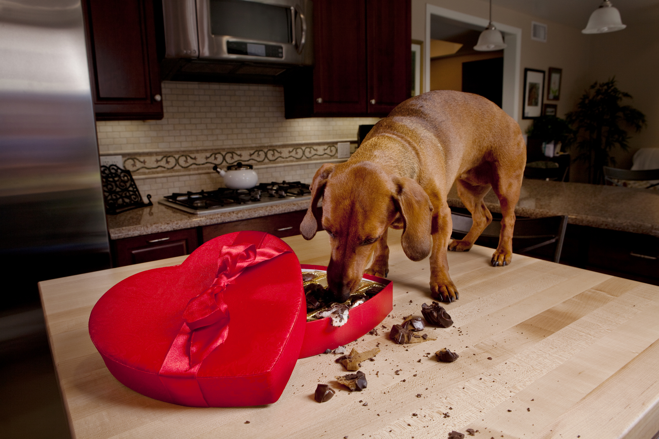 Dog eating chocolates from heart shaped Valentine's box