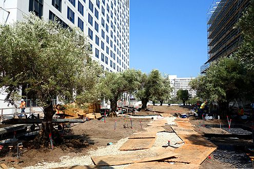 A view of the grove of 100-year old olive trees from Grand Ave