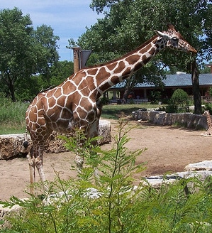 Giraffe in Sedgwick County Zoo