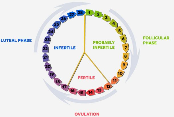 Representation of the luteal phase of the menstrural cycle