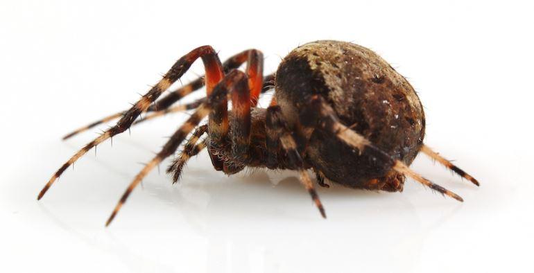 Orb spider bite