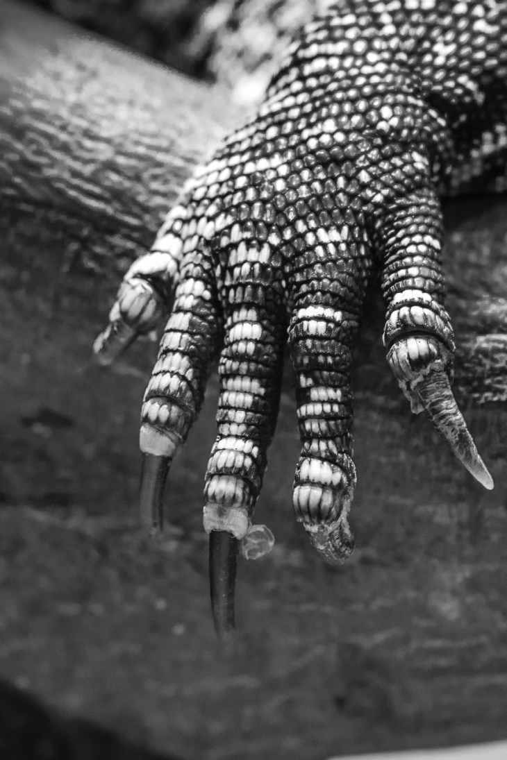 grayscale photo of monitor lizard s arm