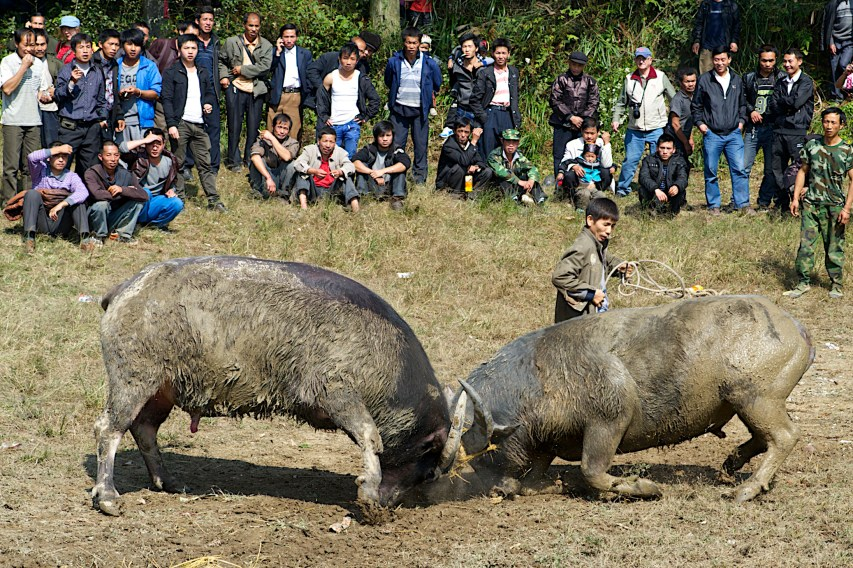 After months of working the fields, men in rural China let off a little steam at harvest festivals. A favorite event is water buffalo fighting.