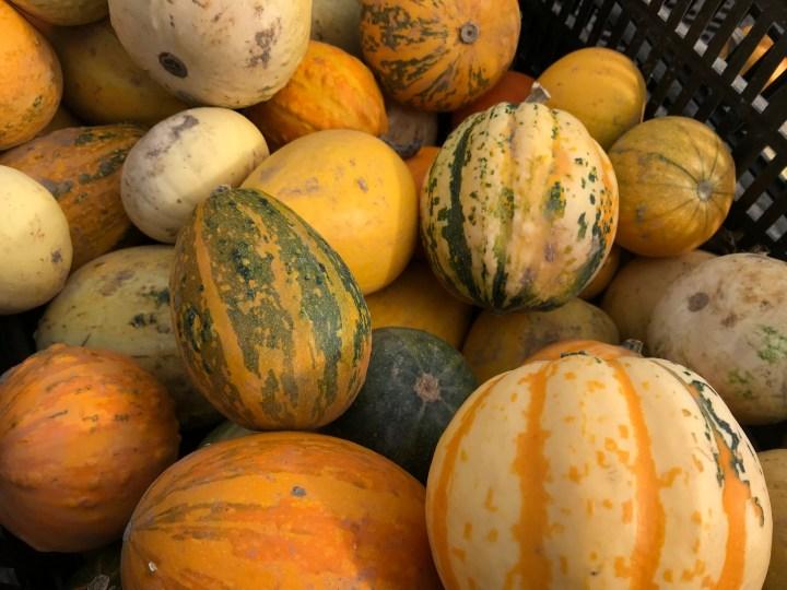 Hollam Nurseries, Pumpkin Picking in Hampshire