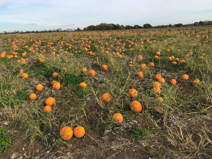 Hollam Nurseries - A guide to Pumpkin Picking in Hampshire