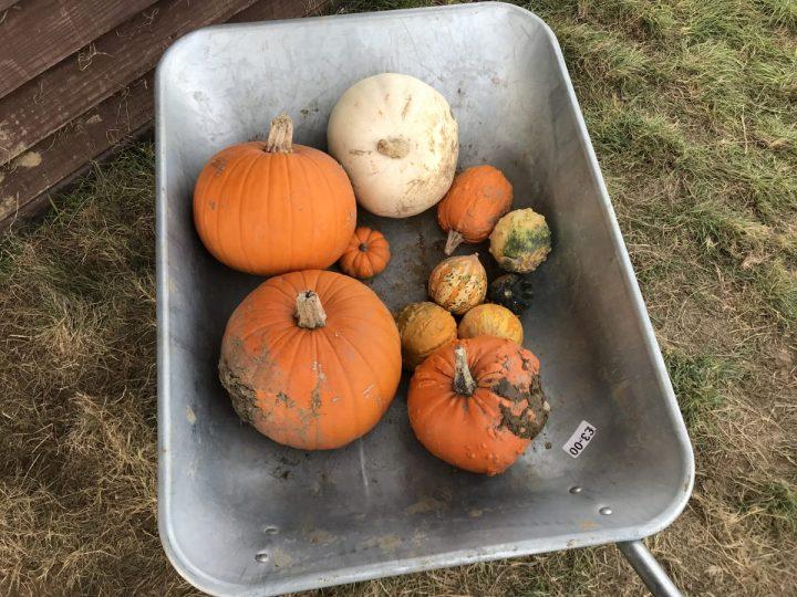 Pumpkins in a wheelbarrow in Hampshire