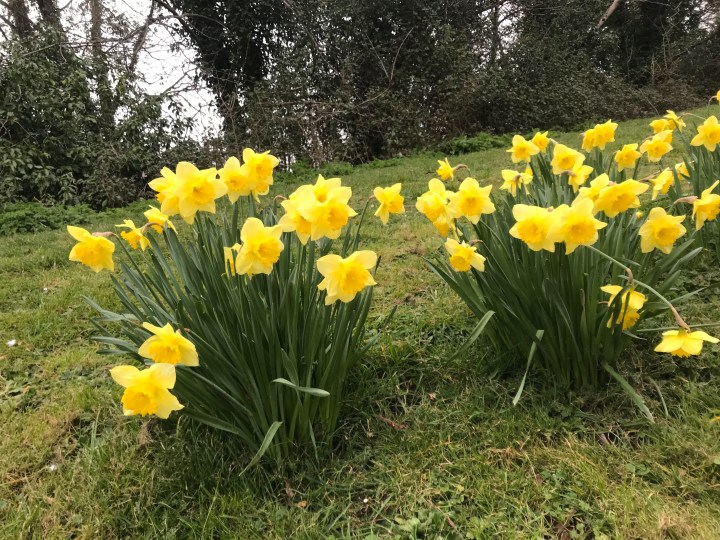 Daffodils in Things To Do In Hampshire This Weekend  | 2 APRIL 2021